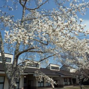 満開の【辛夷 (こぶし) の花】  田島ホームの辛夷 (こぶし) の花  2021・4・8