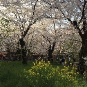 大好きな桜