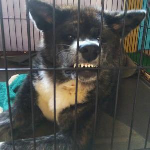 愛犬の【怒】アタシは怒ってるの!…でも笑ってしまう家族