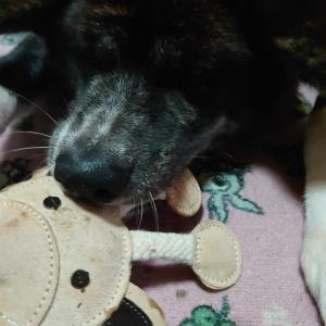 愛犬の【しつけ】甘噛みまーちゃんVS母ちゃんの秘策~NO1~