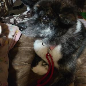 愛犬の【暴】大惨事と父ちゃん驚異の『睡眠力』