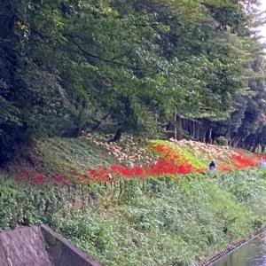 赤い彼岸花が見頃です