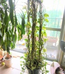 観葉植物 「ポトス」 解体