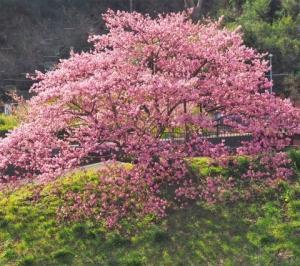 伊豆の桜 その9 「みなみの桜」 5