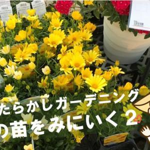 【花の苗@松山市】ダイキ朝生田店へ花の苗をみに行ってきました!