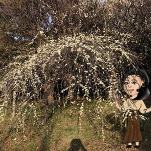 枝垂れが咲いた