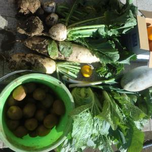 今年最後の野菜収穫に思うこと