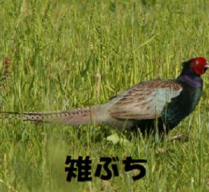 """これって茨城弁?""""雉ぶちに行ってくる"""""""