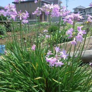 ツルバキアの花