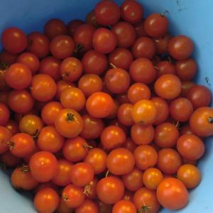 加工用トマトってどんなトマト?