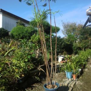 伸び過ぎた棕梠竹は元から切るほかない