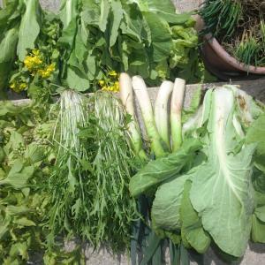 今日の野菜収穫