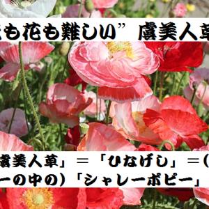 """小説も花も難しい""""虞美人草"""""""