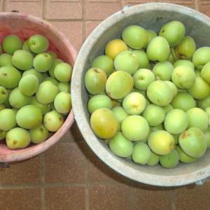 梅を収穫しました