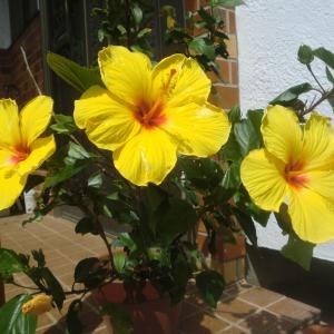 毎日1~3輪咲くハイビスカスの花