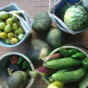 終わりに近づいてきた夏野菜の収穫