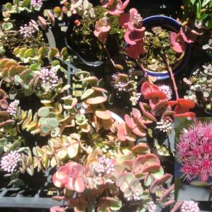 ミセバヤの花が咲き始める