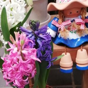 ヒヤシンスの花~♪