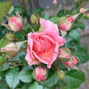 今年最初の薔薇