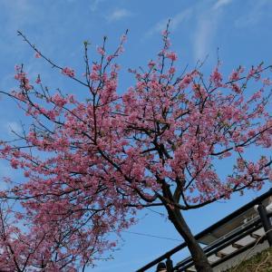 河津の桜~約束のお花見