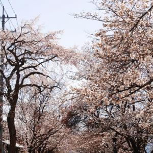 【犬日記】世の中が自粛自粛でも桜は咲くのです