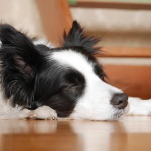 「尻尾を振る犬は喜んでいる」という誤解