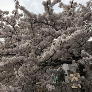 新型コロナの非常事態宣言中でも 札幌市内の桜は咲いた