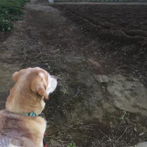 サツマイモ畑の前で
