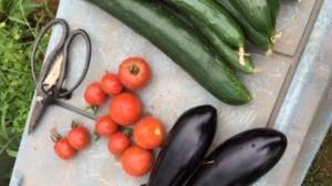 夏野菜も収穫が始まってます