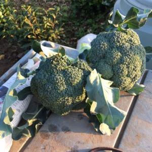 今日はブロッコリーの収穫