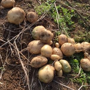 ジャガイモの収穫とイチゴのマルチ