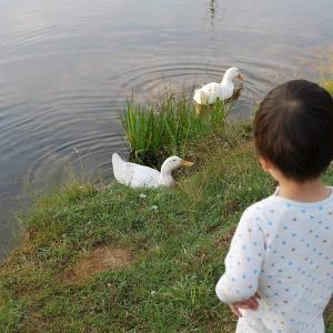 湖ではアヒルが出迎えるのだ