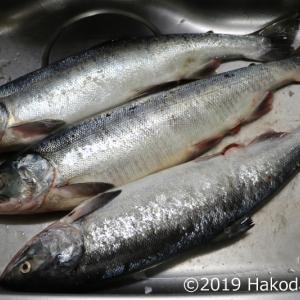 鮭とばを作る