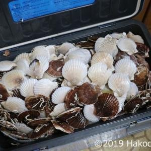 帆立(ホタテ)稚貝で酒蒸しと味噌汁を作る~満杯のホタテ祭り