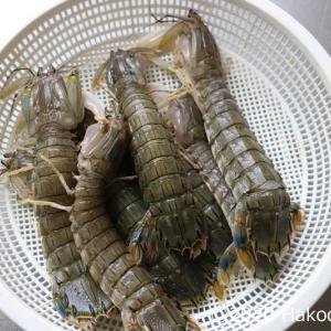 シャコ(蝦蛄)を茹でて食べる~旬の5月は内子がいっぱい