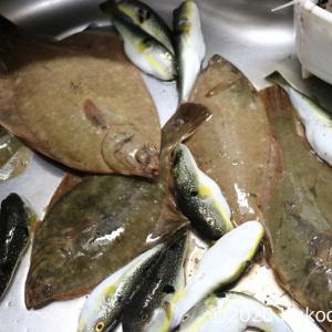 オショロガレイの刺身を作る~釣り上げカレイ三点盛り