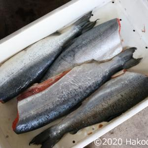 鮭の飯寿司を作る①~漁師家系の我が家のレシピ~下準備編