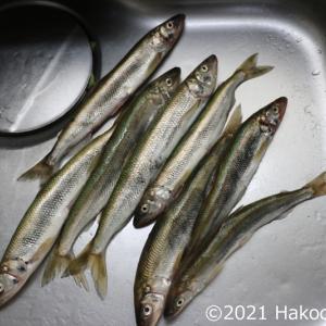 キュウリウオ(胡瓜魚)を一夜干しにして焼いて食べる