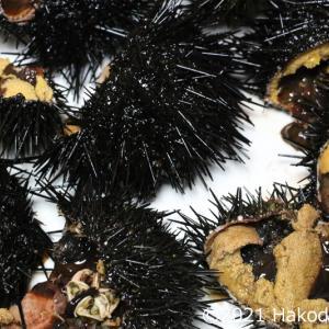 キタムラサキウニを割って刺身で食べる