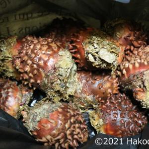 松前産の天然真海鞘(マボヤ)を頂きました!~天然物はでかうま