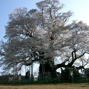 知っていましたか?こんな桜の種類や豆知識。来年はコロナが終息して花見ができますように…