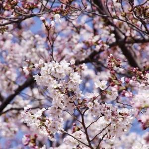 桜を見るかい?