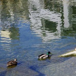 街 の 水 鳥