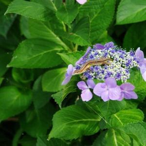 紫 陽 花 蜥 蜴