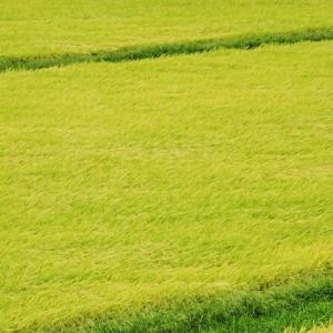 う ね る 稲