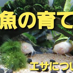 【コリドラス】水槽内での稚魚の育て方。おすすめのエサとあげ方について!!
