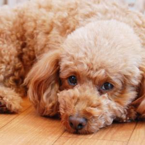 犬の気管虚脱という病気について