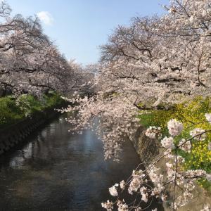 静寂の桜の宴