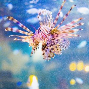 海の危険生物に2種類 刺されたことがあるきりんが 海の危険生物について綴りました