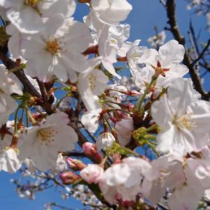 FIATオイル交換!桜🌸